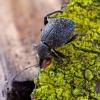 Pjovėjas - Otiorhynchus armadillo | Fotografijos autorius : Romas Ferenca | © Macrogamta.lt | Šis tinklapis priklauso bendruomenei kuri domisi makro fotografija ir fotografuoja gyvąjį makro pasaulį.
