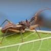 Plėšriablakė - Pristhesancus plagipennis | Fotografijos autorius : Žilvinas Pūtys | © Macrogamta.lt | Šis tinklapis priklauso bendruomenei kuri domisi makro fotografija ir fotografuoja gyvąjį makro pasaulį.