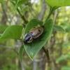 Plėšrusis (keturtaškis) maitvabalis - Dendroxena quadrimaculata | Fotografijos autorius : Mantas Kaupys | © Macrogamta.lt | Šis tinklapis priklauso bendruomenei kuri domisi makro fotografija ir fotografuoja gyvąjį makro pasaulį.