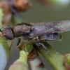 Plokščiamusė - Odontomyia argentata ♀   Fotografijos autorius : Žilvinas Pūtys   © Macrogamta.lt   Šis tinklapis priklauso bendruomenei kuri domisi makro fotografija ir fotografuoja gyvąjį makro pasaulį.