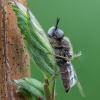 Plokščiamusė - Odontomyia argentata ♂ | Fotografijos autorius : Žilvinas Pūtys | © Macrogamta.lt | Šis tinklapis priklauso bendruomenei kuri domisi makro fotografija ir fotografuoja gyvąjį makro pasaulį.
