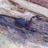 Pseudoskorpionas - Dendrochernes cyrneus ? | Fotografijos autorius : Romas Ferenca | © Macrogamta.lt | Šis tinklapis priklauso bendruomenei kuri domisi makro fotografija ir fotografuoja gyvąjį makro pasaulį.