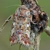 Pušinis pelėdgalvis - Panolis flammea | Fotografijos autorius : Gintautas Steiblys | © Macrogamta.lt | Šis tinklapis priklauso bendruomenei kuri domisi makro fotografija ir fotografuoja gyvąjį makro pasaulį.