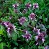 Raudonžiedė notrelė - Lamium purpureum | Fotografijos autorius : Aleksandras Stabrauskas | © Macrogamta.lt | Šis tinklapis priklauso bendruomenei kuri domisi makro fotografija ir fotografuoja gyvąjį makro pasaulį.