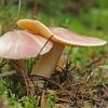 Raudongalvis baltikenis - Tricholomopsis rutilans | Fotografijos autorius : Gintautas Steiblys | © Macrogamta.lt | Šis tinklapis priklauso bendruomenei kuri domisi makro fotografija ir fotografuoja gyvąjį makro pasaulį.