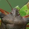 Raudonkojė skydblakė - Pentatoma rufipes | Fotografijos autorius : Vidas Brazauskas | © Macrogamta.lt | Šis tinklapis priklauso bendruomenei kuri domisi makro fotografija ir fotografuoja gyvąjį makro pasaulį.
