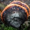 Raudonkraštė pintainė - Fomitopsis pinicola   Fotografijos autorius : Aleksandras Stabrauskas   © Macrogamta.lt   Šis tinklapis priklauso bendruomenei kuri domisi makro fotografija ir fotografuoja gyvąjį makro pasaulį.