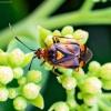 Raudonoji žolblakė - Deraeocoris ruber | Fotografijos autorius : Virginijus Jaseliunas | © Macrogamta.lt | Šis tinklapis priklauso bendruomenei kuri domisi makro fotografija ir fotografuoja gyvąjį makro pasaulį.