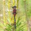 Raudonoji skėtė - Leucorhinia rubicunda , patinas   Fotografijos autorius : Vytautas Uselis   © Macrogamta.lt   Šis tinklapis priklauso bendruomenei kuri domisi makro fotografija ir fotografuoja gyvąjį makro pasaulį.