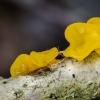 Raukšlinis žiūrytis   Yellow brain   Tremella mesenterica   Fotografijos autorius : Darius Baužys   © Macrogamta.lt   Šis tinklapis priklauso bendruomenei kuri domisi makro fotografija ir fotografuoja gyvąjį makro pasaulį.