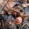 Rudoji šakabudė - Tubaria furfuracea | Fotografijos autorius : Aleksandras Stabrauskas | © Macrogamta.lt | Šis tinklapis priklauso bendruomenei kuri domisi makro fotografija ir fotografuoja gyvąjį makro pasaulį.