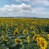 Saulėgražų lauke | Fotografijos autorius : Gintautas Steiblys | © Macrogamta.lt | Šis tinklapis priklauso bendruomenei kuri domisi makro fotografija ir fotografuoja gyvąjį makro pasaulį.