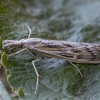 Sausamėgis varpinukas - Pediasia fascelinella | Fotografijos autorius : Žilvinas Pūtys | © Macrogamta.lt | Šis tinklapis priklauso bendruomenei kuri domisi makro fotografija ir fotografuoja gyvąjį makro pasaulį.