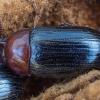 Sengirinis juodvabalis - Neomida haemorrhoidalis ♂ | Fotografijos autorius : Žilvinas Pūtys | © Macrogamta.lt | Šis tinklapis priklauso bendruomenei kuri domisi makro fotografija ir fotografuoja gyvąjį makro pasaulį.