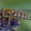 Serbentinė žiedmusė - Syrphus ribesii ♀ | Fotografijos autorius : Žilvinas Pūtys | © Macrogamta.lt | Šis tinklapis priklauso bendruomenei kuri domisi makro fotografija ir fotografuoja gyvąjį makro pasaulį.