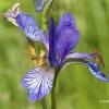 Sibirinis vilkdalgis - Iris sibirica | Fotografijos autorius : Gediminas Gražulevičius | © Macrogamta.lt | Šis tinklapis priklauso bendruomenei kuri domisi makro fotografija ir fotografuoja gyvąjį makro pasaulį.