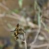Skėtė - Rhyothemis variegata ♀ | Fotografijos autorius : Deividas Makavičius | © Macrogamta.lt | Šis tinklapis priklauso bendruomenei kuri domisi makro fotografija ir fotografuoja gyvąjį makro pasaulį.