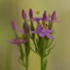 Skėtinė širdažolė - Centaurium erythraea | Fotografijos autorius : Zita Gasiūnaitė | © Macrogamta.lt | Šis tinklapis priklauso bendruomenei kuri domisi makro fotografija ir fotografuoja gyvąjį makro pasaulį.