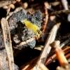 Skorpionmusė - Boreus westwoodi | Fotografijos autorius : Vytautas Tamutis | © Macrogamta.lt | Šis tinklapis priklauso bendruomenei kuri domisi makro fotografija ir fotografuoja gyvąjį makro pasaulį.