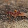 Skruzdėlė - Myrmecia gulosa | Fotografijos autorius : Žilvinas Pūtys | © Macrogamta.lt | Šis tinklapis priklauso bendruomenei kuri domisi makro fotografija ir fotografuoja gyvąjį makro pasaulį.