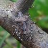 Skydblakė - Rhaphigaster nebulosa | Fotografijos autorius : Romas Ferenca | © Macrogamta.lt | Šis tinklapis priklauso bendruomenei kuri domisi makro fotografija ir fotografuoja gyvąjį makro pasaulį.