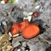 Skydelinė blakstienutė - Scutellinia scutellata | Fotografijos autorius : Agnė Kulpytė | © Macrogamta.lt | Šis tinklapis priklauso bendruomenei kuri domisi makro fotografija ir fotografuoja gyvąjį makro pasaulį.