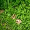 Skydinė gijabudė - Entoloma clypeatum | Fotografijos autorius : Aleksandras Stabrauskas | © Macrogamta.lt | Šis tinklapis priklauso bendruomenei kuri domisi makro fotografija ir fotografuoja gyvąjį makro pasaulį.