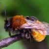Smėliabitė - Andrena fulva   Fotografijos autorius : Romas Ferenca   © Macrogamta.lt   Šis tinklapis priklauso bendruomenei kuri domisi makro fotografija ir fotografuoja gyvąjį makro pasaulį.
