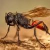 Smėlinė amofila - Ammophila sabulosa | Fotografijos autorius : Eugenijus Kavaliauskas | © Macrogamta.lt | Šis tinklapis priklauso bendruomenei kuri domisi makro fotografija ir fotografuoja gyvąjį makro pasaulį.