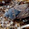 Smėlinė dirvablakė - Trapezonotus arenarius | Fotografijos autorius : Romas Ferenca | © Macrogamta.lt | Šis tinklapis priklauso bendruomenei kuri domisi makro fotografija ir fotografuoja gyvąjį makro pasaulį.