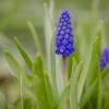 Smulkiažiedė žydrė   Common grape hyacinth   Muscari botryoides   Fotografijos autorius : Darius Baužys   © Macrogamta.lt   Šis tinklapis priklauso bendruomenei kuri domisi makro fotografija ir fotografuoja gyvąjį makro pasaulį.