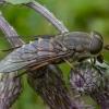 Sparva - Tabanus sudeticus | Fotografijos autorius : Žilvinas Pūtys | © Macrogamta.lt | Šis tinklapis priklauso bendruomenei kuri domisi makro fotografija ir fotografuoja gyvąjį makro pasaulį.