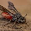 Sphecodes albilabris - Bitė | Fotografijos autorius : Eugenijus Kavaliauskas | © Macrogamta.lt | Šis tinklapis priklauso bendruomenei kuri domisi makro fotografija ir fotografuoja gyvąjį makro pasaulį.