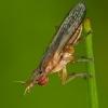 Sraigžudė - Limnia unguicornis   Fotografijos autorius : Žilvinas Pūtys   © Macrogamta.lt   Šis tinklapis priklauso bendruomenei kuri domisi makro fotografija ir fotografuoja gyvąjį makro pasaulį.