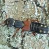 Trumpasparnis - Staphylinus erythropterus | Fotografijos autorius : Vytautas Tamutis | © Macrogamta.lt | Šis tinklapis priklauso bendruomenei kuri domisi makro fotografija ir fotografuoja gyvąjį makro pasaulį.