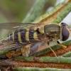 Stiklasparnė žiedmusė - Syrphus vitripennis ♀ | Fotografijos autorius : Žilvinas Pūtys | © Macrogamta.lt | Šis tinklapis priklauso bendruomenei kuri domisi makro fotografija ir fotografuoja gyvąjį makro pasaulį.