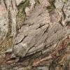 Pilkasis strėlinukas - Acronicta psi | Fotografijos autorius : Vidas Brazauskas | © Macrogamta.lt | Šis tinklapis priklauso bendruomenei kuri domisi makro fotografija ir fotografuoja gyvąjį makro pasaulį.