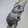 Straubliukas - Barynotus obscurus   Fotografijos autorius : Kazimieras Martinaitis   © Macrogamta.lt   Šis tinklapis priklauso bendruomenei kuri domisi makro fotografija ir fotografuoja gyvąjį makro pasaulį.