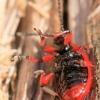 Svogūninis čiuželis - Lilioceris merdigera | Fotografijos autorius : Ramunė Vakarė | © Macrogamta.lt | Šis tinklapis priklauso bendruomenei kuri domisi makro fotografija ir fotografuoja gyvąjį makro pasaulį.
