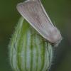 Gelsvasis nendrinukas - Arenostola phragmitidis | Fotografijos autorius : Žilvinas Pūtys | © Macrogamta.lt | Šis tinklapis priklauso bendruomenei kuri domisi makro fotografija ir fotografuoja gyvąjį makro pasaulį.