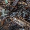 Tamsiarudė miško skruzdėlė - Formica fusca | Fotografijos autorius : Žilvinas Pūtys | © Macrogamta.lt | Šis tinklapis priklauso bendruomenei kuri domisi makro fotografija ir fotografuoja gyvąjį makro pasaulį.