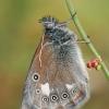Tamsusis satyriukas - Coenonympha glycerion   Fotografijos autorius : Gintautas Steiblys   © Macrogamta.lt   Šis tinklapis priklauso bendruomenei kuri domisi makro fotografija ir fotografuoja gyvąjį makro pasaulį.