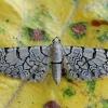 Tinklasprindytis - Eupithecia venosata | Fotografijos autorius : Gintautas Steiblys | © Macrogamta.lt | Šis tinklapis priklauso bendruomenei kuri domisi makro fotografija ir fotografuoja gyvąjį makro pasaulį.