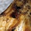 Grybvabalis - Triphyllus bicolor (Fabricius, 1777) | Fotografijos autorius : Vitalii Alekseev | © Macrogamta.lt | Šis tinklapis priklauso bendruomenei kuri domisi makro fotografija ir fotografuoja gyvąjį makro pasaulį.