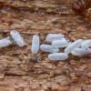 Tripsas - Phlaeothripidae, kiaušiniai | Fotografijos autorius : Žilvinas Pūtys | © Macrogamta.lt | Šis tinklapis priklauso bendruomenei kuri domisi makro fotografija ir fotografuoja gyvąjį makro pasaulį.
