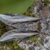 Tuopinis kuodis - Pheosia tremula | Fotografijos autorius : Žilvinas Pūtys | © Macrogamta.lt | Šis tinklapis priklauso bendruomenei kuri domisi makro fotografija ir fotografuoja gyvąjį makro pasaulį.