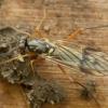 Musė - Xylophagus ater | Fotografijos autorius : Vidas Brazauskas | © Macrogamta.lt | Šis tinklapis priklauso bendruomenei kuri domisi makro fotografija ir fotografuoja gyvąjį makro pasaulį.