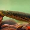 Upinė nėgė - Lampetra fluviatilis | Fotografijos autorius : Gintautas Steiblys | © Macrogamta.lt | Šis tinklapis priklauso bendruomenei kuri domisi makro fotografija ir fotografuoja gyvąjį makro pasaulį.