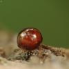 Kerpvabalis - Agathidium nigripenne | Fotografijos autorius : Vidas Brazauskas | © Macrogamta.lt | Šis tinklapis priklauso bendruomenei kuri domisi makro fotografija ir fotografuoja gyvąjį makro pasaulį.
