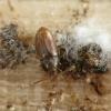 Slapūnvabalis - Atomaria sp. | Fotografijos autorius : Vidas Brazauskas | © Macrogamta.lt | Šis tinklapis priklauso bendruomenei kuri domisi makro fotografija ir fotografuoja gyvąjį makro pasaulį.
